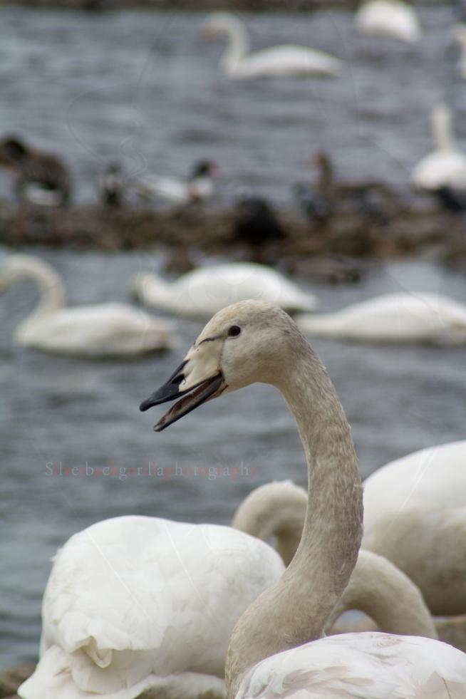 Silverbackgorilla young whooper swan.jpg