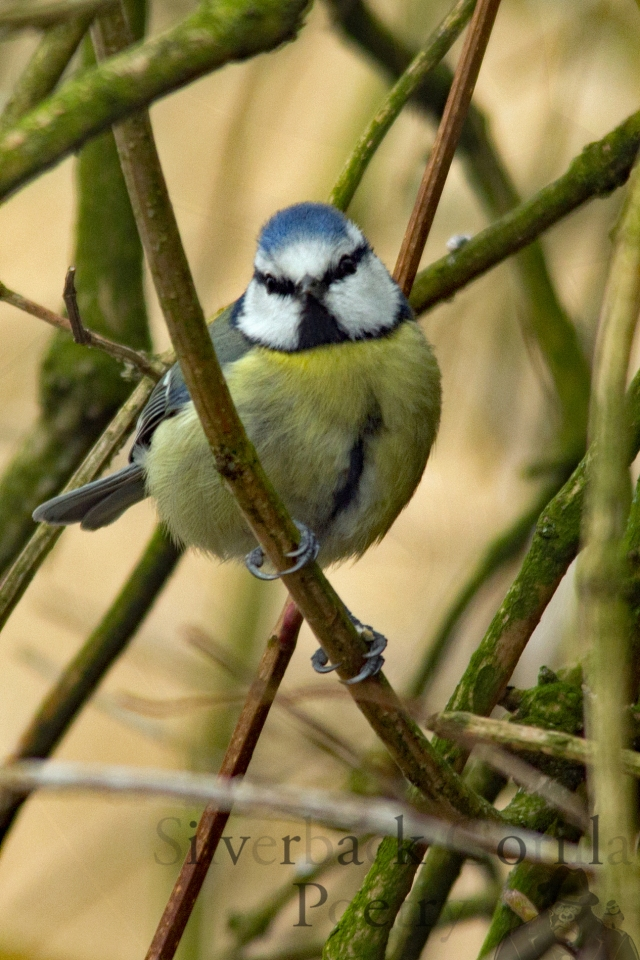 Blue tit full colour.jpg