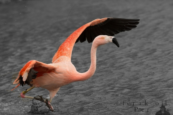 Chilean Flamingo.jpg